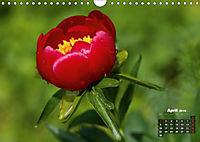 Peony Rose Without Thorns (Wall Calendar 2018 DIN A4 Landscape) - Produktdetailbild 4