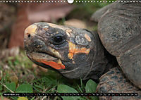 Turtles and Tortoises - Armored pacifists (Wall Calendar 2018 DIN A3 Landscape) - Produktdetailbild 11