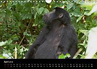 Ugandas friedliche Berggorillas (Wandkalender 2018 DIN A4 quer) Dieser erfolgreiche Kalender wurde dieses Jahr mit gleic - Produktdetailbild 4