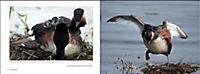 Vögel in Norddeutschland - Produktdetailbild 6