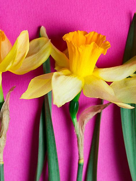 Frühe goldene Farbtupfer in Haus und Garten: Narzissen
