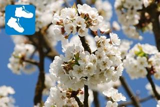 Chriesiwäg in Frick - Kirschbäume in voller Pracht