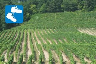 Weinpfad am Murtensee