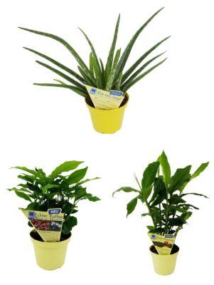 3 er Set:  Aloe vera + Kaffee + Zimt-Aroma, je 1  Pflanze