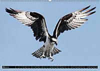 Adler und Greife - Könige des Himmels (Wandkalender 2018 DIN A2 quer) - Produktdetailbild 5