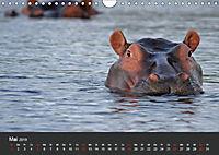Afrikas Dickhäuter. Hippos, Nashörner und Elefanten (Wandkalender 2019 DIN A4 quer) - Produktdetailbild 5