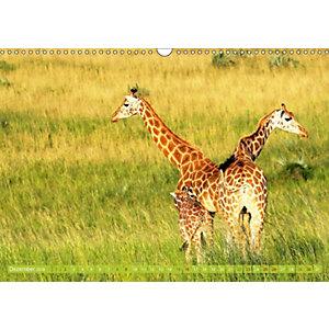 afrikas giraffen ganz gro elegante riesen der savanne wandkalender 2018 din a3 quer kalender. Black Bedroom Furniture Sets. Home Design Ideas
