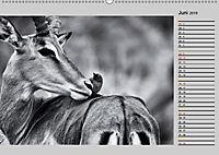Afrikas Tierwelt in schwarz & weiß (Wandkalender 2019 DIN A2 quer) - Produktdetailbild 6