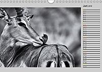 Afrikas Tierwelt in schwarz & weiss (Wandkalender 2019 DIN A4 quer) - Produktdetailbild 6