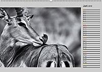 Afrikas Tierwelt in schwarz & weiss (Wandkalender 2019 DIN A2 quer) - Produktdetailbild 6