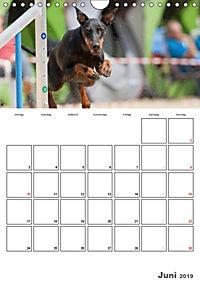 Agility Mecklenburg Vorpommern (Wandkalender 2019 DIN A4 hoch) - Produktdetailbild 6