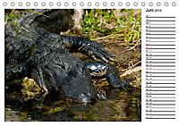 ALLIGATOREN IN FLORIDA (Tischkalender 2019 DIN A5 quer) - Produktdetailbild 6