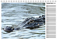 ALLIGATOREN IN FLORIDA (Tischkalender 2019 DIN A5 quer) - Produktdetailbild 9