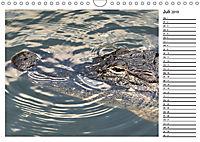 ALLIGATOREN IN FLORIDA (Wandkalender 2019 DIN A4 quer) - Produktdetailbild 7