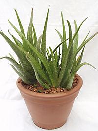 Aloe vera 'Sweet', 2 Stück - Produktdetailbild 1
