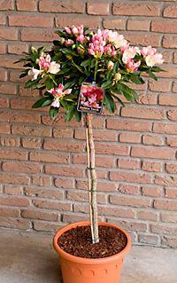 japanische s ulenzierkirsche wei rosa bl hend 2. Black Bedroom Furniture Sets. Home Design Ideas