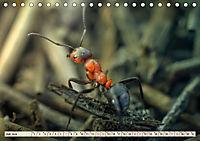 Ameisen - Ordnung im Durcheinander (Tischkalender 2019 DIN A5 quer) - Produktdetailbild 7