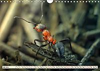 Ameisen - Ordnung im Durcheinander (Wandkalender 2019 DIN A4 quer) - Produktdetailbild 7