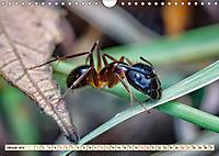 Ameisen - Ordnung im Durcheinander (Wandkalender 2019 DIN A4 quer) - Produktdetailbild 1