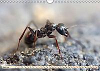 Ameisen - Ordnung im Durcheinander (Wandkalender 2019 DIN A4 quer) - Produktdetailbild 6
