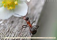 Ameisen - Ordnung im Durcheinander (Wandkalender 2019 DIN A4 quer) - Produktdetailbild 4