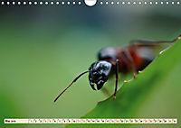 Ameisen - Ordnung im Durcheinander (Wandkalender 2019 DIN A4 quer) - Produktdetailbild 5