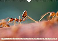 Ameisen - Ordnung im Durcheinander (Wandkalender 2019 DIN A4 quer) - Produktdetailbild 9