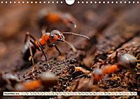 Ameisen - Ordnung im Durcheinander (Wandkalender 2019 DIN A4 quer) - Produktdetailbild 12
