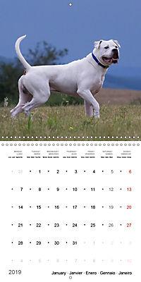 American Bulldog (Wall Calendar 2019 300 × 300 mm Square) - Produktdetailbild 1