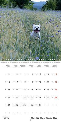 American Bulldog (Wall Calendar 2019 300 × 300 mm Square) - Produktdetailbild 5