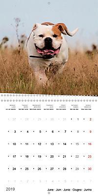 American Bulldog (Wall Calendar 2019 300 × 300 mm Square) - Produktdetailbild 6