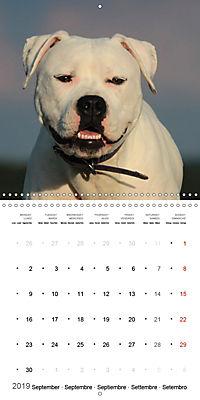 American Bulldog (Wall Calendar 2019 300 × 300 mm Square) - Produktdetailbild 9