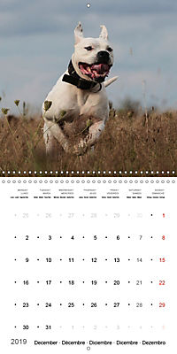 American Bulldog (Wall Calendar 2019 300 × 300 mm Square) - Produktdetailbild 12