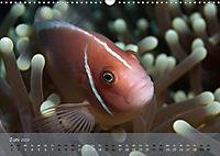 Anemonenfische - Streitbare Gesellen (Wandkalender 2019 DIN A3 quer) - Produktdetailbild 6