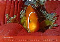 Anemonenfische - Streitbare Gesellen (Wandkalender 2019 DIN A3 quer) - Produktdetailbild 9