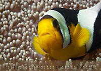 Anemonenfische - Streitbare Gesellen (Wandkalender 2019 DIN A2 quer) - Produktdetailbild 5