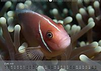 Anemonenfische - Streitbare Gesellen (Wandkalender 2019 DIN A2 quer) - Produktdetailbild 6