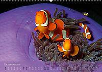 Anemonenfische - Streitbare Gesellen (Wandkalender 2019 DIN A2 quer) - Produktdetailbild 12