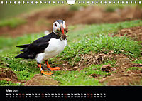 ATLANTIC PUFFINS OF SCOTLAND (Wall Calendar 2019 DIN A4 Landscape) - Produktdetailbild 5