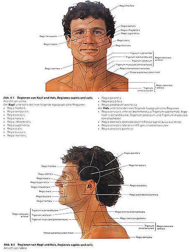 Kopf Anatomie Mensch