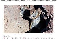 Atlashörnchen. Possierliche Nager auf Fuerteventura (Wandkalender 2019 DIN A2 quer) - Produktdetailbild 1