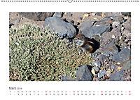 Atlashörnchen. Possierliche Nager auf Fuerteventura (Wandkalender 2019 DIN A2 quer) - Produktdetailbild 3