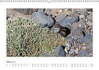 Atlashörnchen. Possierliche Nager auf Fuerteventura (Wandkalender 2019 DIN A3 quer) - Produktdetailbild 3