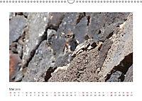 Atlashörnchen. Possierliche Nager auf Fuerteventura (Wandkalender 2019 DIN A3 quer) - Produktdetailbild 5