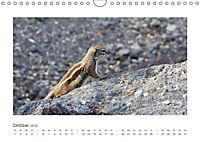 Atlashörnchen. Possierliche Nager auf Fuerteventura (Wandkalender 2019 DIN A4 quer) - Produktdetailbild 10