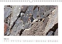 Atlashörnchen. Possierliche Nager auf Fuerteventura (Wandkalender 2019 DIN A4 quer) - Produktdetailbild 5