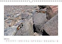 Atlashörnchen. Possierliche Nager auf Fuerteventura (Wandkalender 2019 DIN A4 quer) - Produktdetailbild 6