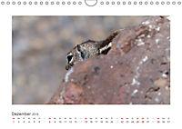 Atlashörnchen. Possierliche Nager auf Fuerteventura (Wandkalender 2019 DIN A4 quer) - Produktdetailbild 12