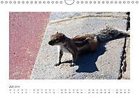 Atlashörnchen. Possierliche Nager auf Fuerteventura (Wandkalender 2019 DIN A4 quer) - Produktdetailbild 7