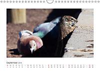 Atlashörnchen. Possierliche Nager auf Fuerteventura (Wandkalender 2019 DIN A4 quer) - Produktdetailbild 9